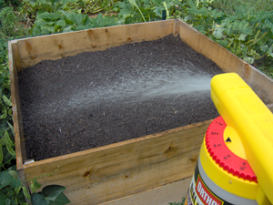 Water the Turnip Seeds In Well