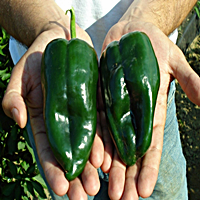 Poblano Ancho Pepper