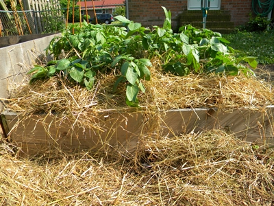 Potato Plants Hill a Second Time With Straw