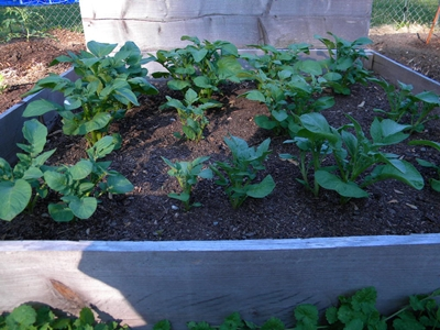 Potato Plants In a Raised Bed