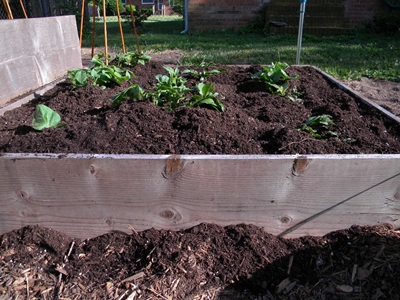 Hill the Soil Around the Potato Plant Until Just the Top Leaves Are Exposed