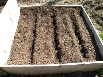 Dig Rows for planting Potatoes