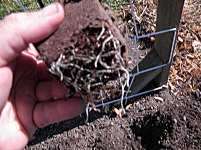 Tear Off the Bottom of the Peat Pot To Expose the Roots of the Cucumber Seedling