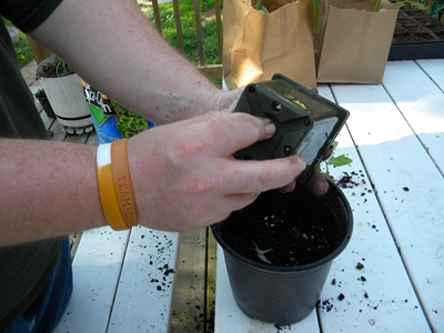 removing the seedling from the pot