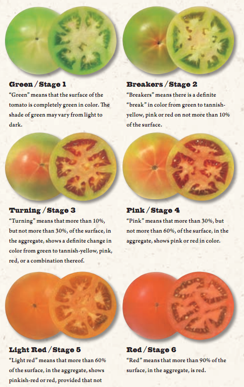 Stages of Tomato Ripening