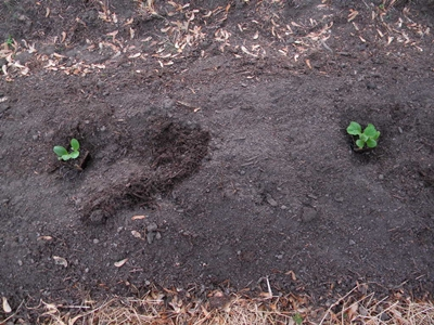 Set Summer Squash Seedlings In Vegetable Garden