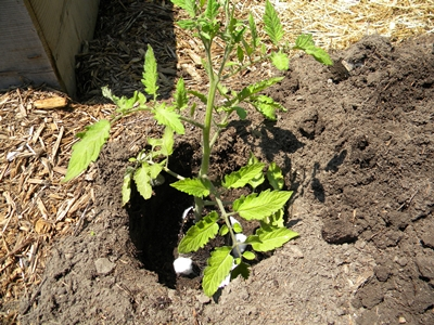 Set Tomato Transplant Into Hole