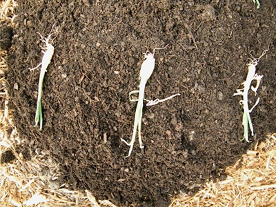Space the Onion Sets Out In the Garden Bed