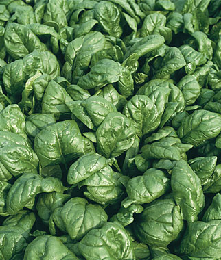 Spinach Is a Favorite Among Many Northeast Gardeners