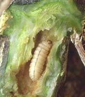 Slit Open the Squash Stem To Reveal the Squash Vine Borer