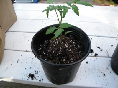 tomato seedling repotted in larger container