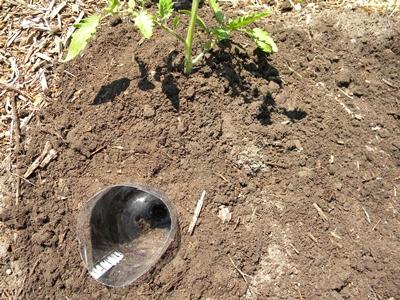 Tomato Transplant Covered With Soil