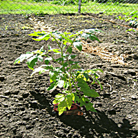 Use the Homemade Tomato Fertilizer as a Side Dressing