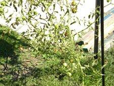 Tomatoes Growing Using Gardeners Revolution Planter