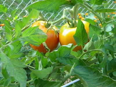 Tomatoes Grown Using the Tomato Fertilizer Spikes