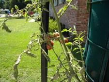 Tomatoes Ripening Using Gardeners Revolution Planter