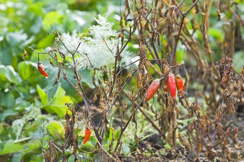 Too Much Fertilizer Can Burn Plants