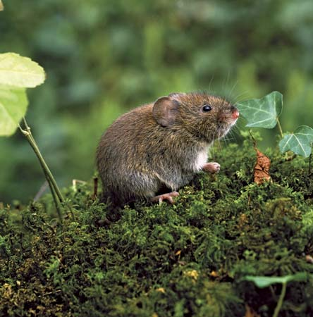 Vole Sitting on a Hill