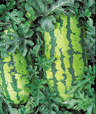 Watermelons Are Typically Found In Many Southeast Vegetable Gardens