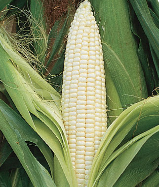 Whats a Midwest Vegetable Garden Without Corn